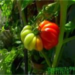 rainbow tomato